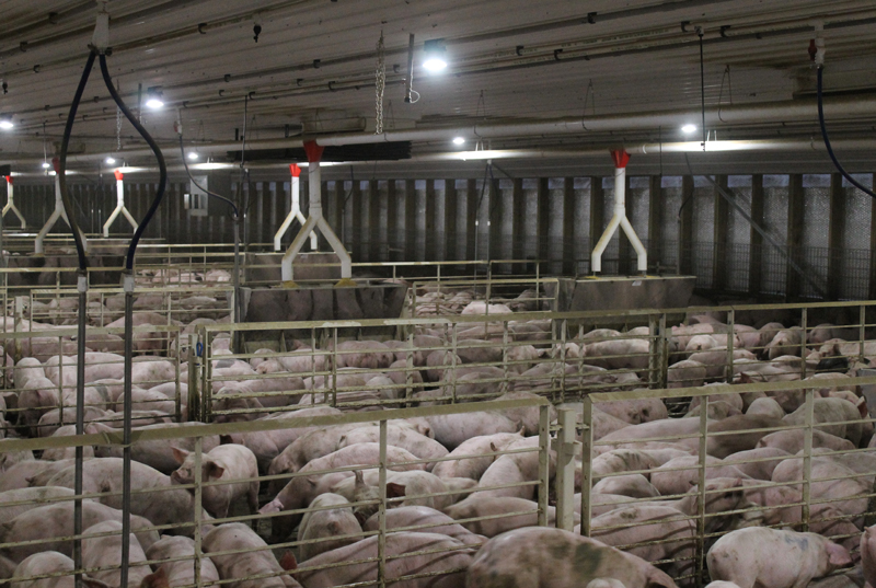 Pig production lighting